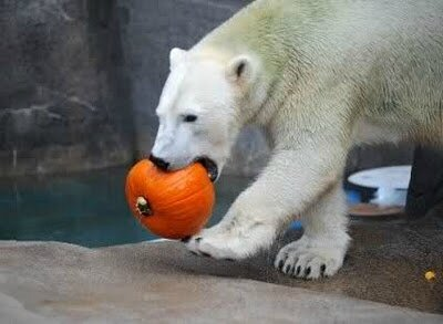 A two-year old polar bear eats a pumpkin at the Brookfield Zoo