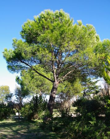 Pin_parasol__Pinus_pinea__Ecorce__1_