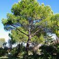 Ecorce de pin parasol / stone pine bark
