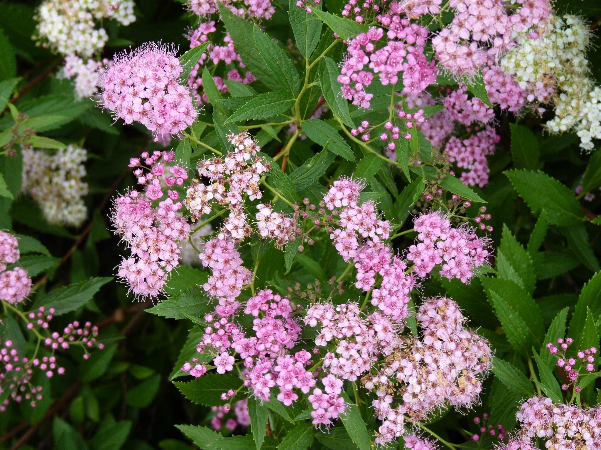 Le bouquet du vendredi les petites bruy res - Arbuste a fleurs roses ...