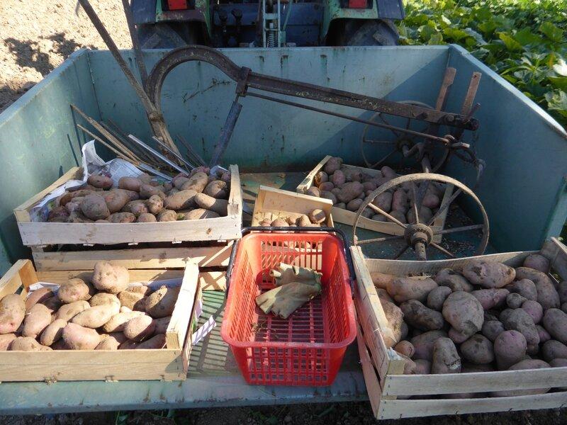 3-récolte pommes de terre mira (2)