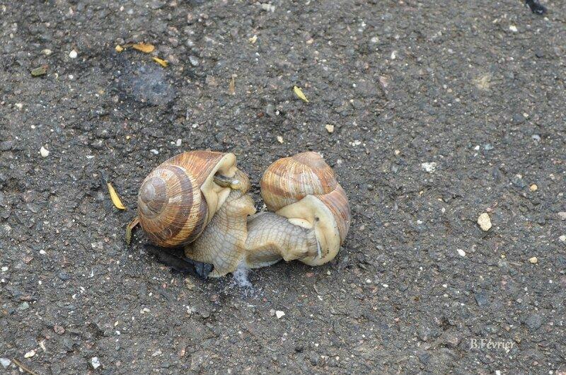 Escargots de Bourgogne (Helix pomatia)