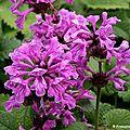 Epiaire ou bétoine à grandes fleurs (stachys grandiflora)