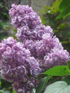 fleurs-jardin-et-petronilles-019-225x300