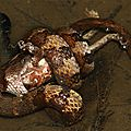 Helicops angulatus dévorant un Rhinella castaneotica