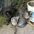 2008 07 14 Les 3 chaton de la chatte grise sauvage