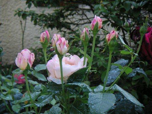 rose 035