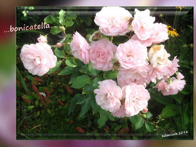 balanicole_2016_11_les nouveaux rosiers de balanicole_B comme bonicatella_07