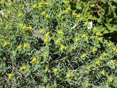Euphorbia_spinosa__3_
