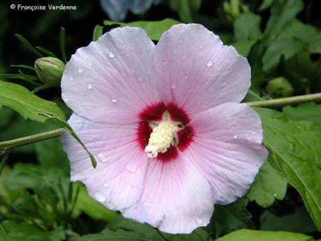FV-hibiscus_syriacus3245