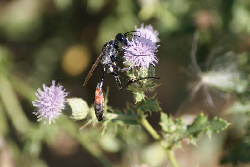 sphegien - ammophila sabulosa 18