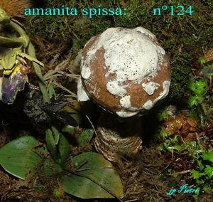 amanita_spissa__n_124