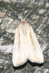 Leucania pseudoloreyi 06 (1)