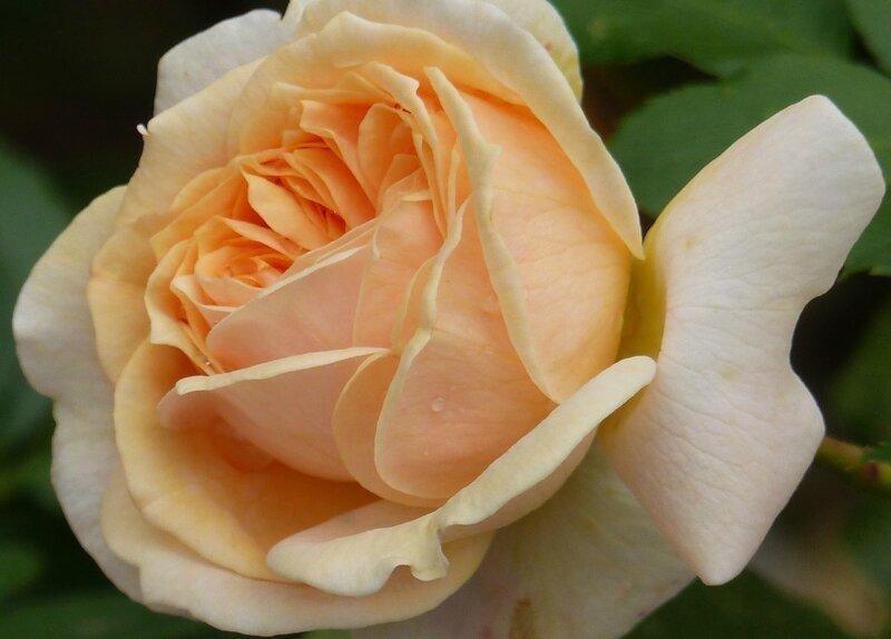 garden of roses (3)