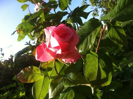grand rosier rose
