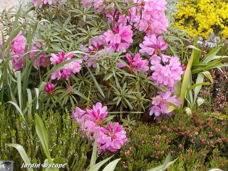 une grande vedette du mois de mai le rhododendron le jardinoscope toute la flore et la faune. Black Bedroom Furniture Sets. Home Design Ideas