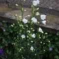 2009 06 14 Campanule Persifolia en fleur