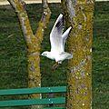 Oiseaux ile de re foto Mo2 (46)-h1500