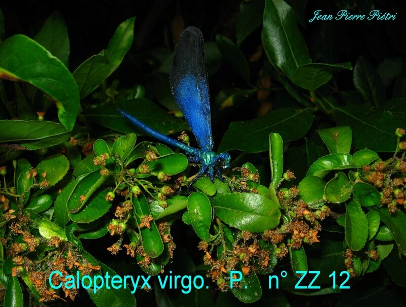 Calopteryx virgo n° ZZ 12