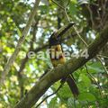 de manzanillo à nicoya_collared aracari toucan_01