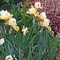 iris honey glazed (jardin)