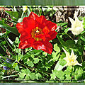 balanicole_2017_05_le printemps des tulipes_22_rouge prunier
