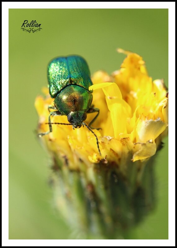 Chrysolina herbacea4