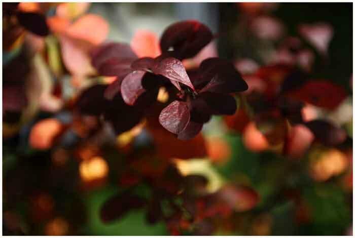 feuilles-rouges
