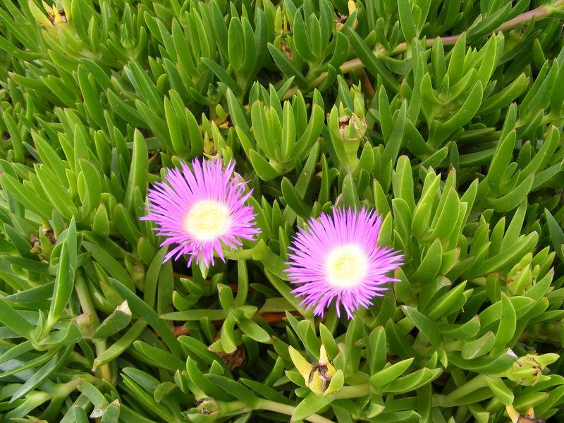 plante grasse maroc