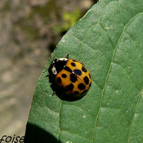 Coccinelle___d_terminer