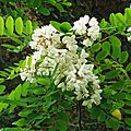 Acacia 1605163