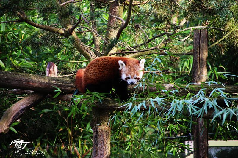 panda_roux_2