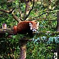 Panda roux...