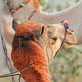 Camel lover 2