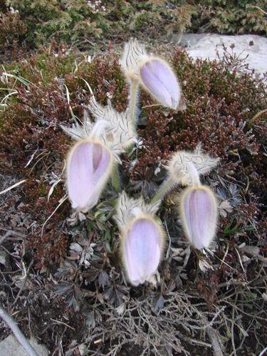 2008 05 11 Des fleurs d'anémones pulsatile du Mézenc