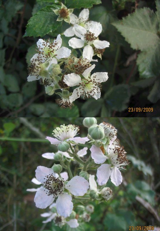 m_res_fleurs_blanches4