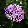 La floraison des alliums avance doucement. un