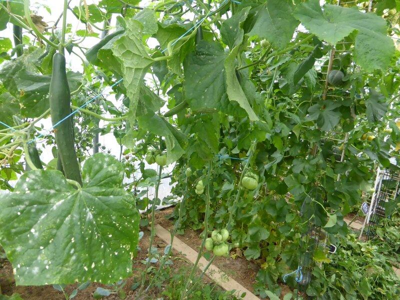 28-serre-tomates-raisins (20)