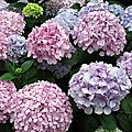 Les hortensias