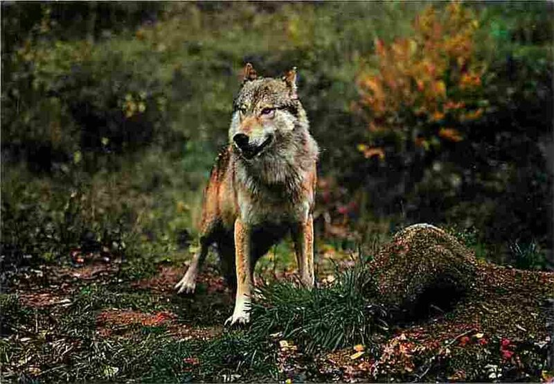CPM Loup Canada (2)