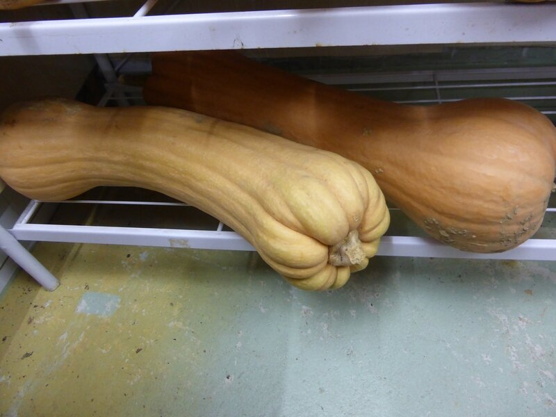 22-courges butternut (1)