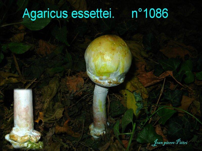 Agaricus essettei n°1086