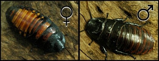 Gromphadorhina portentosa femelle et mâle
