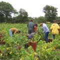 Vendanges 2006 à Brem