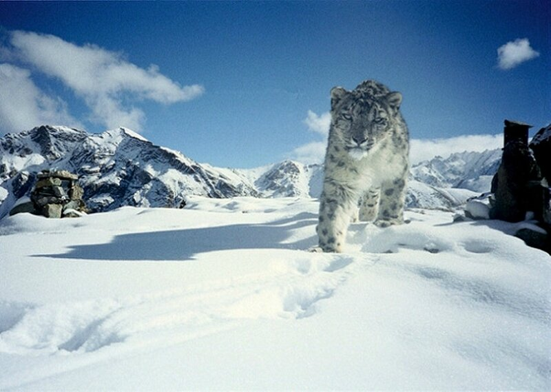 PANTHERE DES NEIGES DANS LE PARC NATIONAL INDIEN DE HEMIS