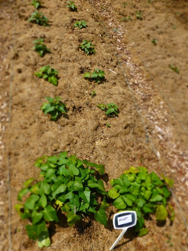 27-patates douces