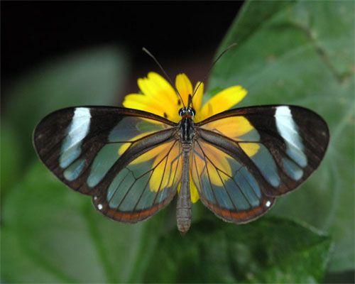papillon transparent4