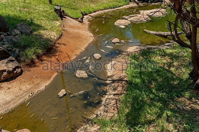 several-small-crocodiles-at-kwena-gardens-in-sun-city-south-africa-fj4w4t