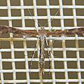 Pterophoridae sp. 12