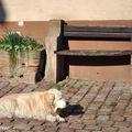 Chien prenant le soleil au pied du banc en Alsace